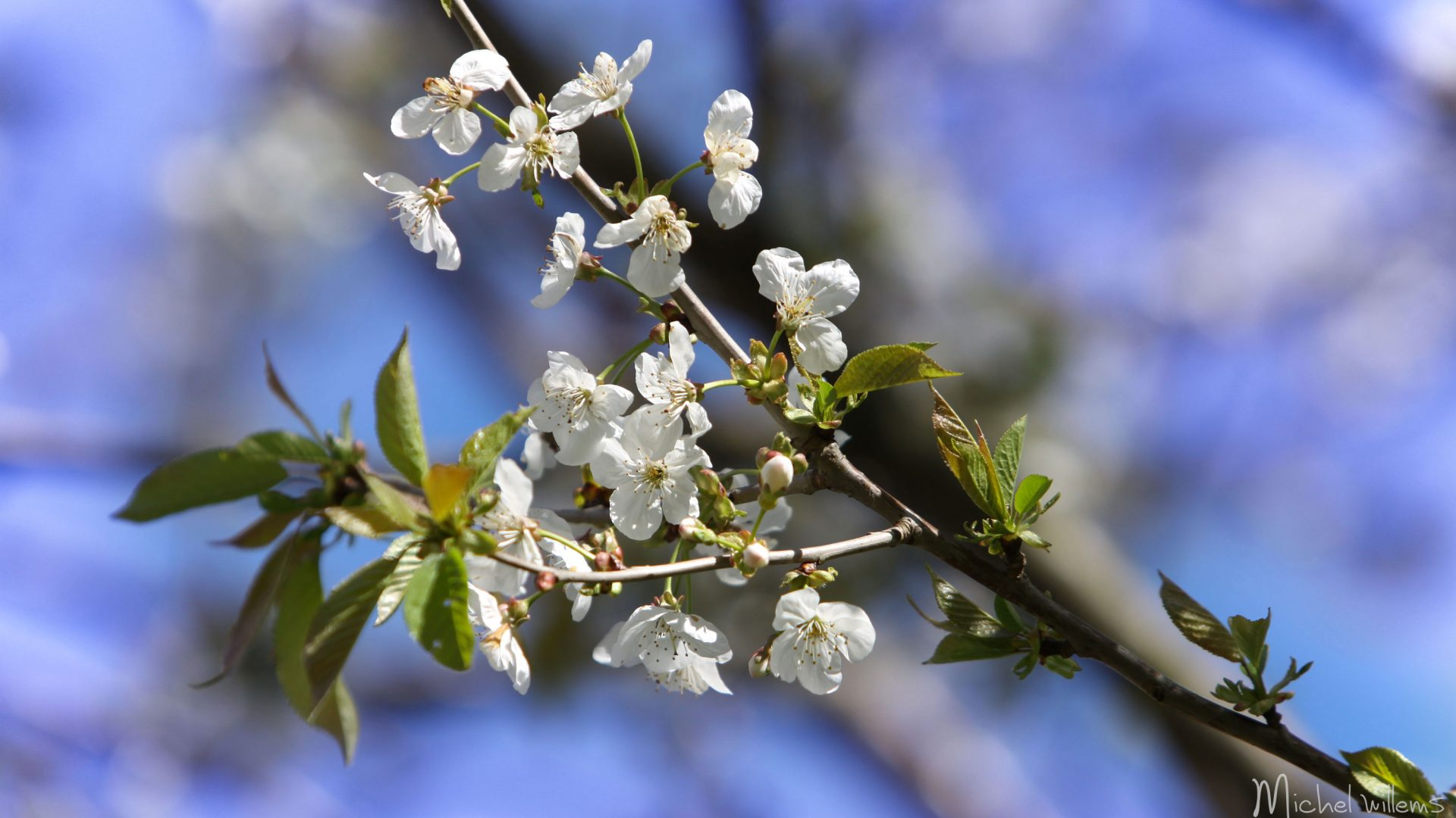 Fleurs de Merisier
