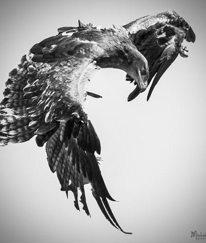 Volerie des aigles